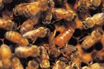 What Does an Africanized Honey Bee Look Like?