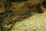 What Is the Difference Between Plecostomus & Algae Eaters?