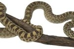 Difference Between Gopher Snakes & Bull Snakes