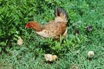 Signs & Symptoms of Coccidiosis in Chickens