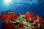 Why are Corals Bright Colors?