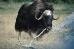 In What Kind of Places Does a Musk Ox Live?