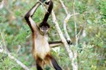 Social Behavior in a Black-Handed Spider Monkey