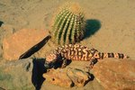 Adaptations for the Banded Gila Monster