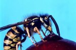 The Wasp That Eats Grasshoppers