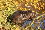 What Are Some Physical Characteristics of Beavers?
