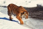 How Big Can a Siberian Tiger Get?