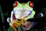 How to Build a Habitat for a Red-Eyed Tree Frog