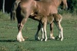 How Long Are Female Horses Pregnant?