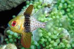 Can a Pajama Cardinalfish Be Kept Alone?