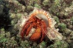 What Is the Difference Between Domestic & Wild Hermit Crabs?