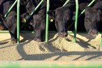 Cow Feed Ingredients