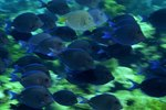 Regal Tang Adaptations