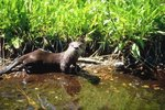 Are River Otters Endangered?