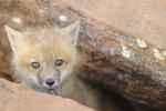 List of Fox Species