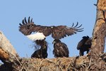 How Do Eagles Learn To Fly?