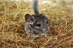Chinchilla Eye Infection