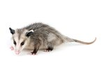 Facts About Possums