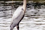 Differences Between Cranes & Herons