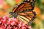 Butterfly Extinction & Indicator Species