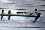 Are a Swallow & Sparrow the Same Thing?