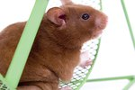 What Are the Characteristics of a Hamster?