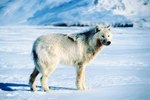 What Animals are Prey of the Arctic Wolf?