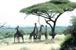 When Do Giraffes Start Walking?