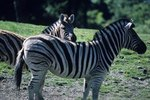 What Kind of Grass Do Zebras Eat?