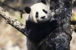 When Was the Giant Panda Declared Endangered?