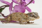 Should Male & Female Geckos Be Housed Together?