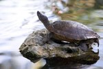 Pink Bellied Side Necked Turtle Care Sheet