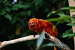 What Do Golden Lion Tamarins Eat?