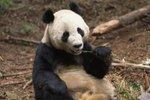 Giant Panda Facts for Kids
