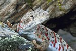 Leopard Lizard Care Sheet
