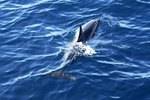 The Habitat & Adaptations of the Spinner Dolphin