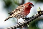 Difference Between a Purple Finch & a House Finch