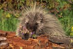 Do Porcupines Eat Bugs?