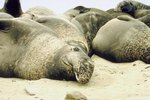 Seals vs. Walruses