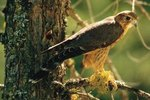 Natural Habitats of Red-Tailed Hawks