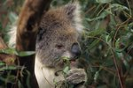 Koala Reproduction & Mating