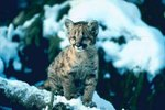 Facts on Baby Cougars