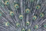 Endangered Peafowl