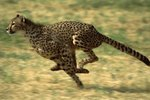 How Far Can a Cheetah Run Before It Has to Rest?