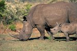 The Wildlife Habits of African Rhinos