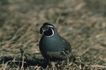 Fun Facts on the California Valley Quail