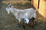 How to Dry Up a Milk Goat