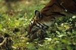 How Much Does a Newborn Tiger Weigh?