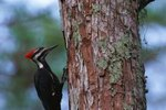 Types of Woodpeckers in Washington