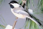 The Difference Between Male & Female in Black-Capped Chickadees